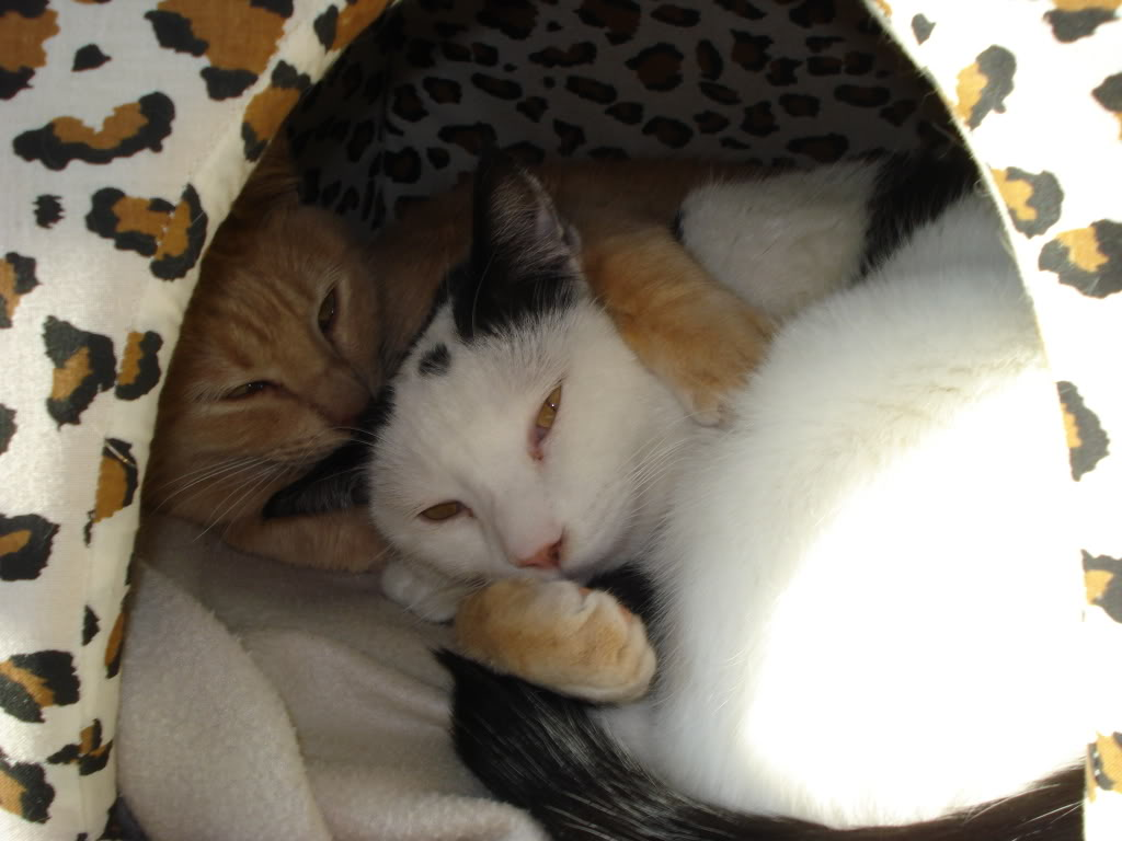 Gatos Machos de Ancat  Badajoz. Ludo e Ibai se han marchado - Página 2 DSC01150