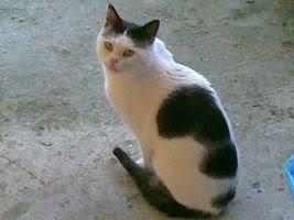 Gatos Machos de Ancat  Badajoz. Ludo e Ibai se han marchado - Página 2 24022009002