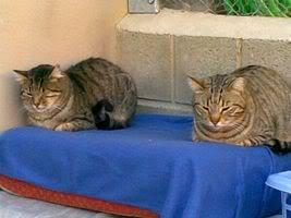 Gatos Machos de Ancat  Badajoz. Ludo e Ibai se han marchado - Página 2 24022009017