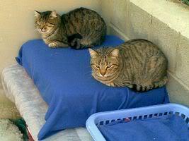 Gatos Machos de Ancat  Badajoz. Ludo e Ibai se han marchado - Página 2 24022009020