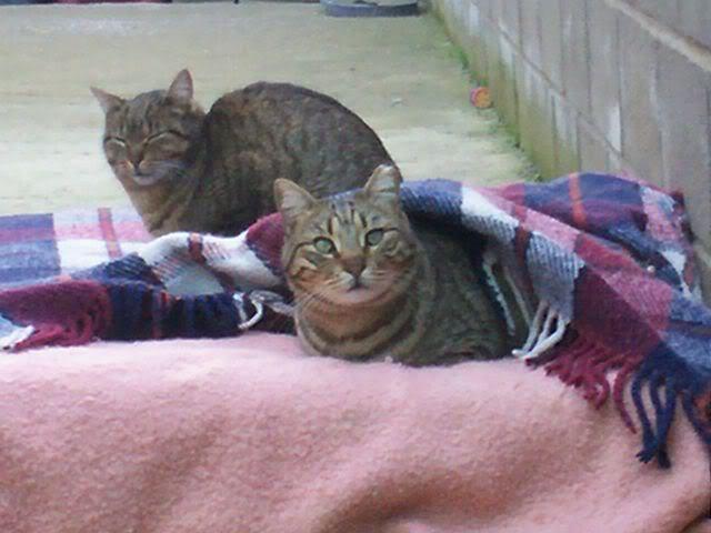 Gatos Machos de Ancat  Badajoz. Ludo e Ibai se han marchado - Página 2 Enero1029