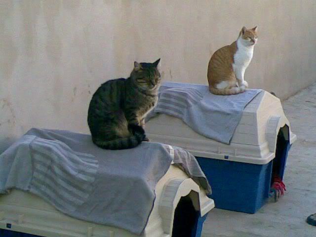 Gatos Machos de Ancat  Badajoz. Ludo e Ibai se han marchado - Página 2 27112008