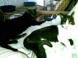 Gatos Machos de Ancat  Badajoz. Ludo e Ibai se han marchado - Página 3 14032009
