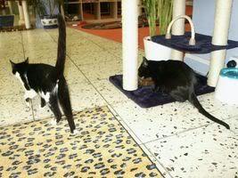 Gatos Machos de Ancat  Badajoz. Ludo e Ibai se han marchado - Página 3 PICT05561tropicoypaquita