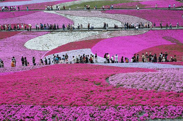 [Du lịch] 9 địa điểm ngắm núi Phú Sĩ đẹp nhất Fuji-Shibazakura-Festival-1030