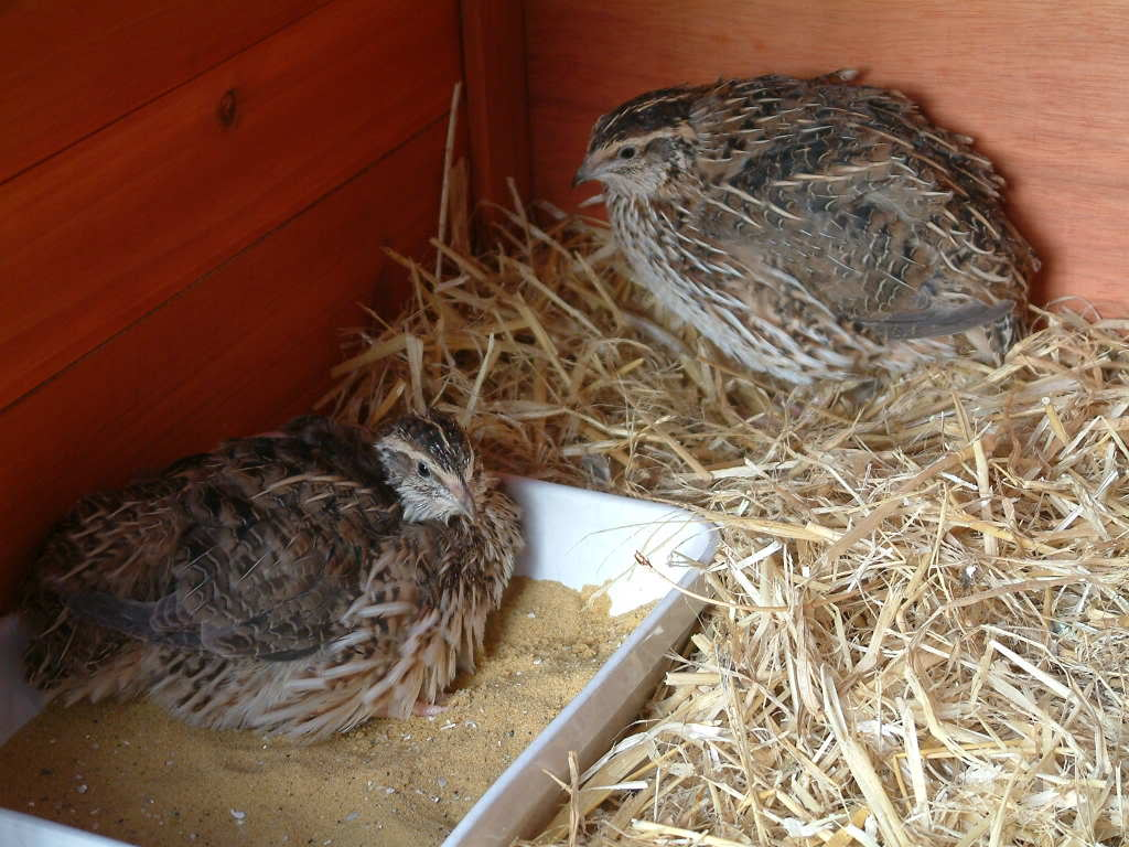 My Quails WendolineandTotty