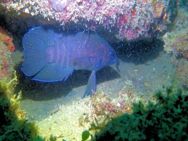 Mudjimba-old woman island trips. Blue%20fish%202_zpslw2mvesz