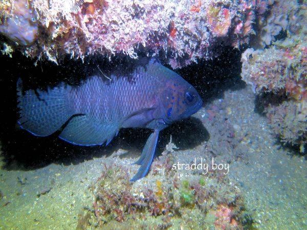 Mudjimba-old woman island trips. Blue%20fish_zps86yp6vtj