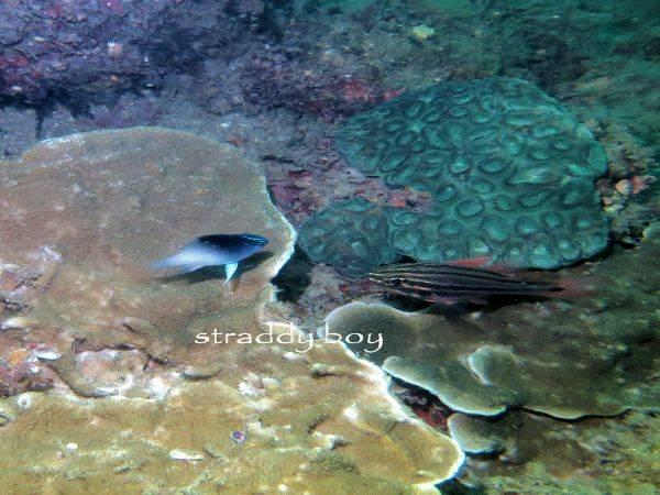 Mudjimba-old woman island trips. Cardial%20fish_zpsbkuhunys