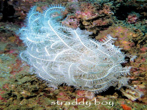 Spot x dive Feather%20starfish%206_zpso2inesex
