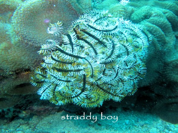 Scuba diving, free diving and low tide walks in South East Queensland for June /July Feather%20starfish_zpspix1ohae