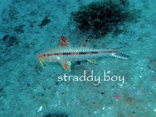 Spot x dive Goat%20fish_zpsurvlazcq