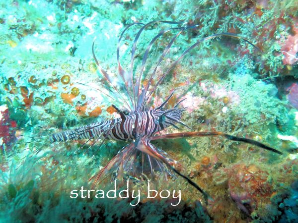 Scuba diving and free diving in South East Queensland for August 2015. Lion%20fish_zpsqqpmrxq9