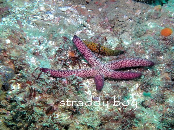 Scuba diving and free diving in South East Queensland for August 2015. Pink%20starfish_zpsd4ukrudu
