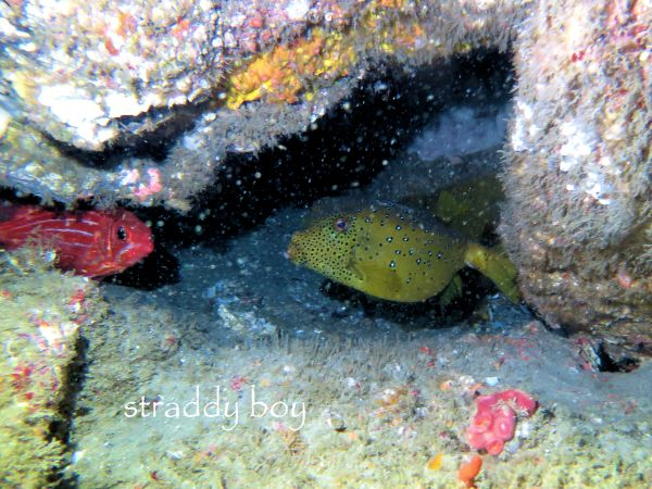 Scuba diving, free diving and low tide walks in South East Queensland for June /July Puffer_zpsnkmbcl09
