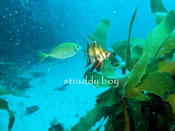 Scuba diving, free diving and low tide walks in South East Queensland for June /July Rabbit%20fish_zpsvqjspzad