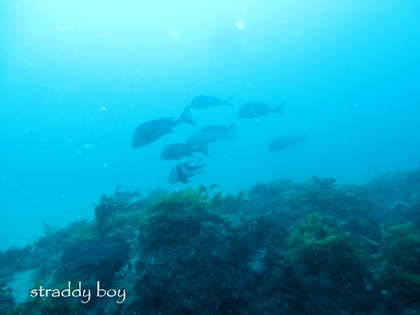 Scuba diving, free diving and low tide walks in South East Queensland for June /July Red%20empera_zpsopjdmrrj