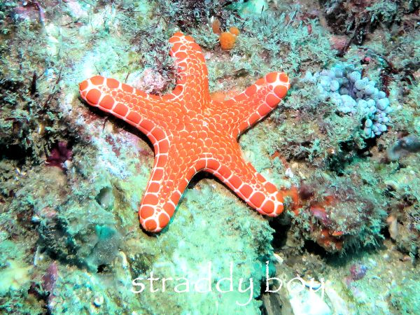 Scuba diving and free diving in South East Queensland for August 2015. Red%20starfish%202_zpsibh2sosz