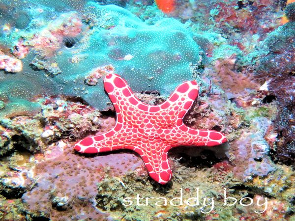 Scuba diving and free diving in South East Queensland for August 2015. Red%20starfish_zpsgraprsgc