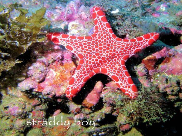 Spot x dive Red%20starfish_zpsmsl79myr