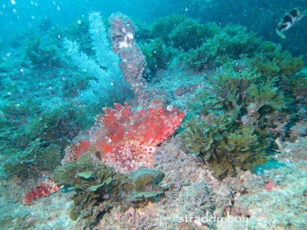 Spot x dive Scopurin%20fish_zpsfeyancbc