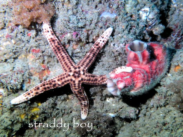Scuba diving, free diving and low tide walks in South East Queensland for June /July Starfish_zpstqnlhefx