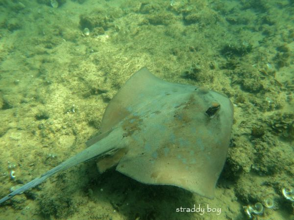 Scuba , free diving and low tide walks in SEQ for November 2016 Blue%20spot%20ray_zpssd5bpup8