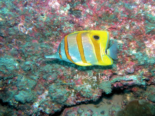 Scuba , free diving and low tide walks in SEQ for July 2016 Butterfly%20fish_zpscjq77gnq