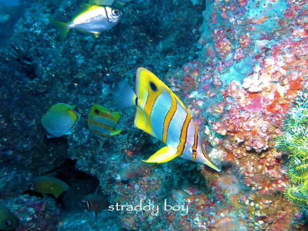 Scuba , free diving and low tide walks in SEQ for July 2016 Butterfly%20fish_zpskg8tlio6