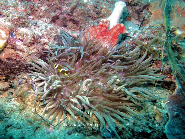 Scuba , free diving and low tide walks in SEQ for July 2016 Clown%205_zpsjlbn3xif