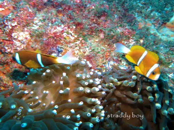 Scuba , free diving and low tide walks in SEQ for November 2016 Clown%20fish_zps9hxnaegq