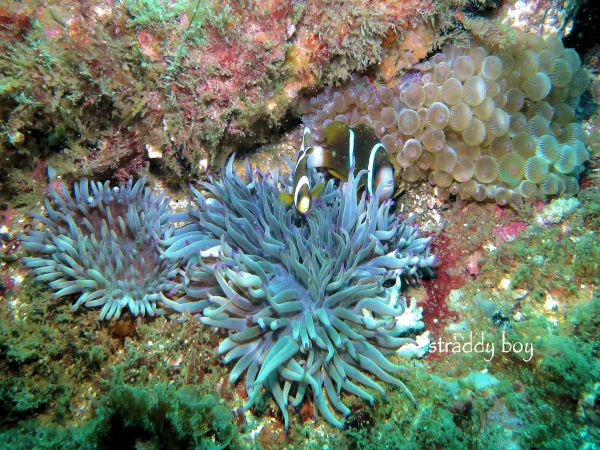 Scuba , free diving and low tide walks in SEQ for July 2016 Clown%20fish_zpssnlsc1ou