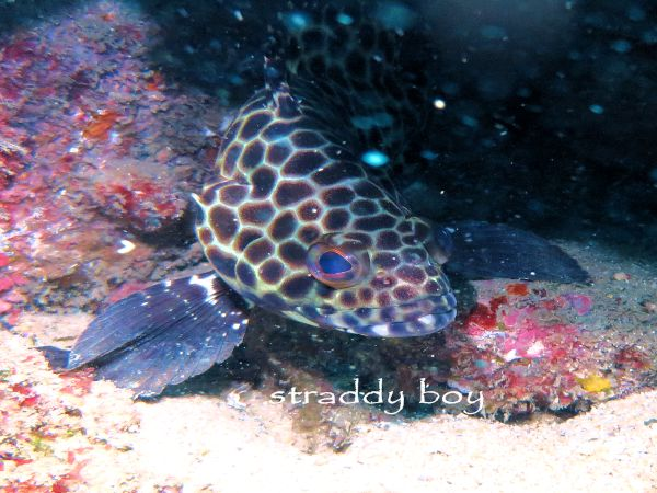 Scuba , free diving and low tide walks in SEQ for August 2016 Cod%202_zps80zaldmr