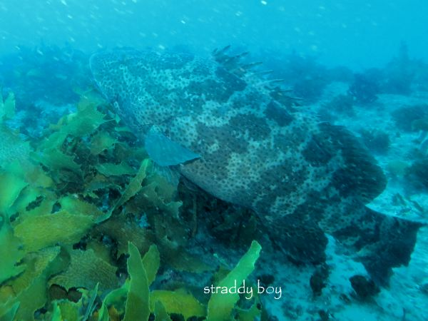 Scuba , free diving and low tide walks in SEQ for July 2016 Cod%20fish_zpskowcnvt4