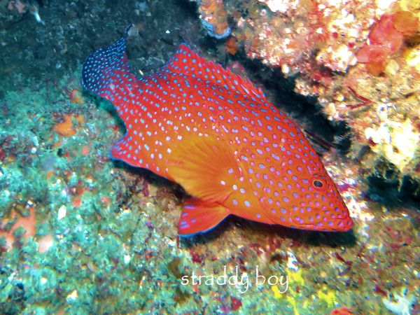 Scuba , free diving and low tide walks in SEQ for November 2016 Coral%20trout%202_zpsqzr87jfs
