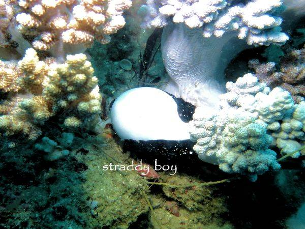 Scuba , free diving and low tide walks in SEQ for July 2016 Egg%20cowery_zpsla7w6crz
