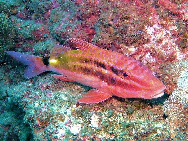 Scuba , free diving and low tide walks in SEQ for June 2016 Goat%20fish_zpsao4dpetn