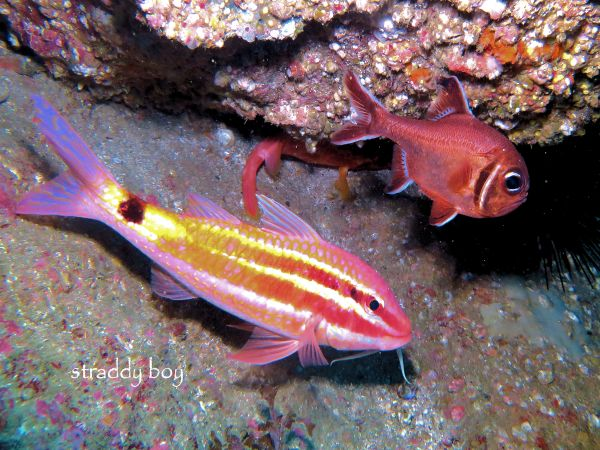 Scuba , free diving and low tide walks in SEQ for July 2016 Goat%20fish_zpsz4uzai2h