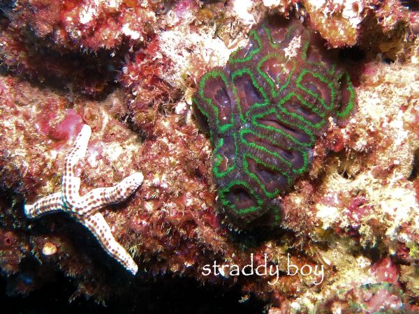 Scuba , free diving and low tide walks in SEQ for August 2016 Green%20hard%20coral%202_zpsq37sj1va