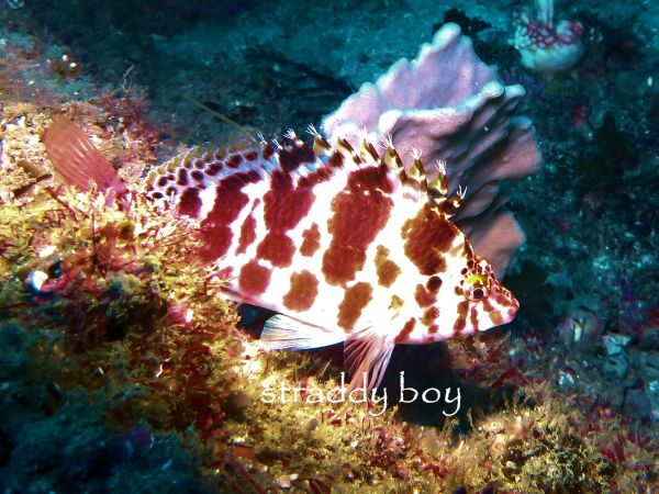 Scuba , free diving and low tide walks in SEQ for July 2016 Hawrk%20fish2_zpsdrvxu4jq