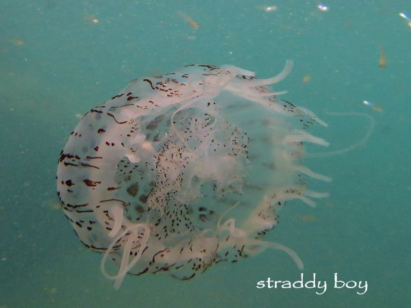 Scuba , free diving and low tide walks in SEQ for November 2016 Jelly%20fish_zpsc6npmdzm