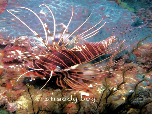 Scuba , free diving and low tide walks in SEQ for August 2016 Lion%20fish_zpsarjob1dv