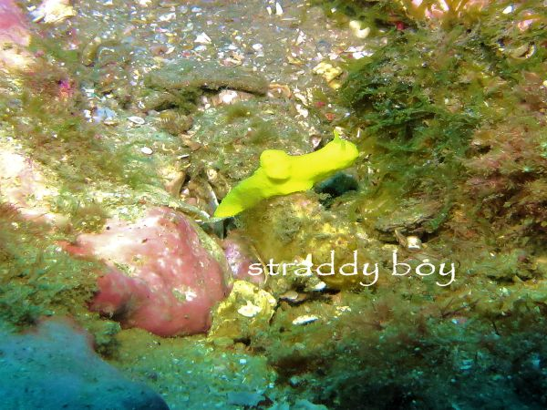 Scuba , free diving and low tide walks in SEQ for August 2016 Nudibranch%202_zpsmbot0aon