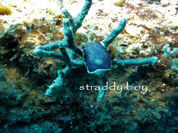 Scuba , free diving and low tide walks in SEQ for August 2016 Nudibranch%204_zpsdte7vmmm