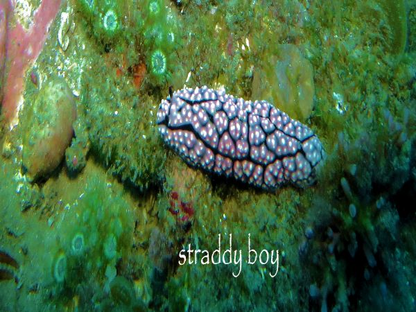 Scuba , free diving and low tide walks in SEQ for August 2016 Nudibranch_zpsb3bgpkom