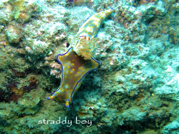 Scuba , free diving and low tide walks in SEQ for November 2016 Nudibranch_zpsthrguznj
