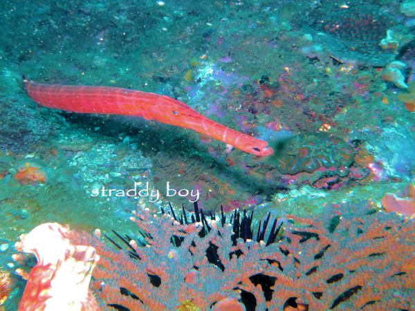 Scuba , free diving and low tide walks in SEQ for July 2016 Pipe%20fish_zpsbhirnpd2