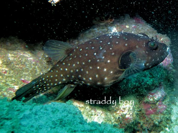 Scuba , free diving and low tide walks in SEQ for July 2016 Puffer%202_zpsdslrh65n