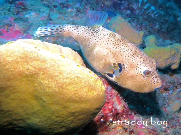 Scuba , free diving and low tide walks in SEQ for July 2016 Puffer%20fish%202_zpsm2e9hpwj