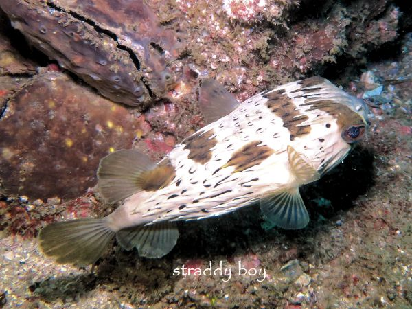 Scuba , free diving and low tide walks in SEQ for July 2016 Puffer%20fish_zpshn4wbhca